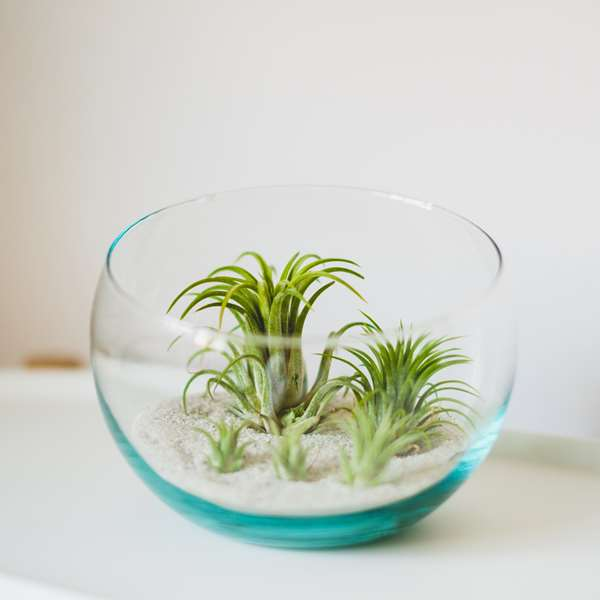 air plants in clear glass bowl with sand